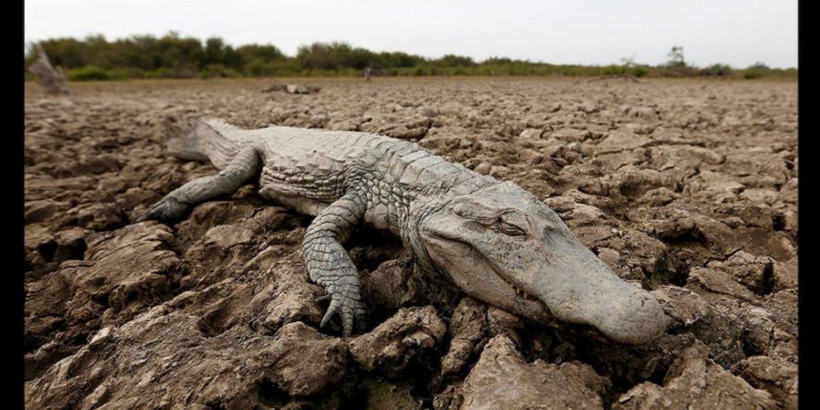 Terribles imágenes como la de este caimán muerto en Bolivia cada vez son más comunes. Foto:AP