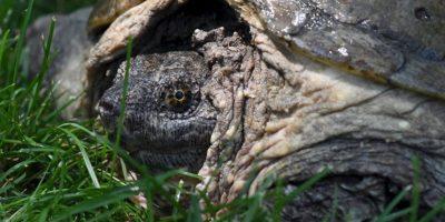 Se calcula que tiene 100 años de edad Foto:Vía Facebook.com/The-Tuttle-Turtle