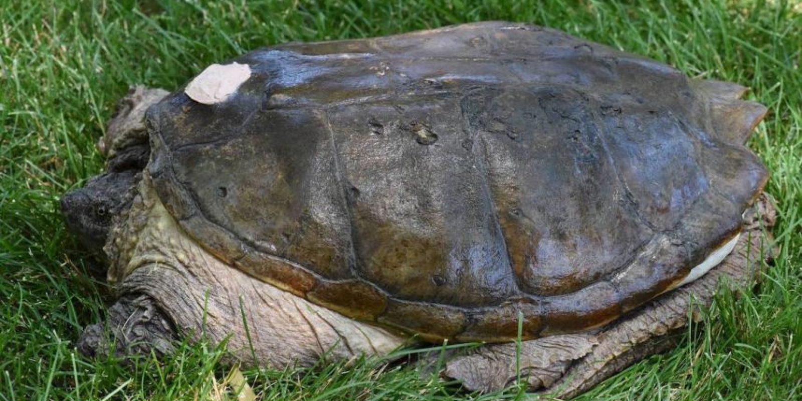 Nueve meses después, regresó a su hábitat natural Foto:Vía Facebook.com/The-Tuttle-Turtle