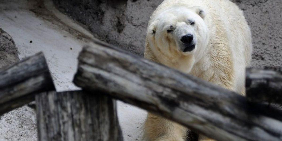 Muere el último oso polar en cautiverio en Argentina