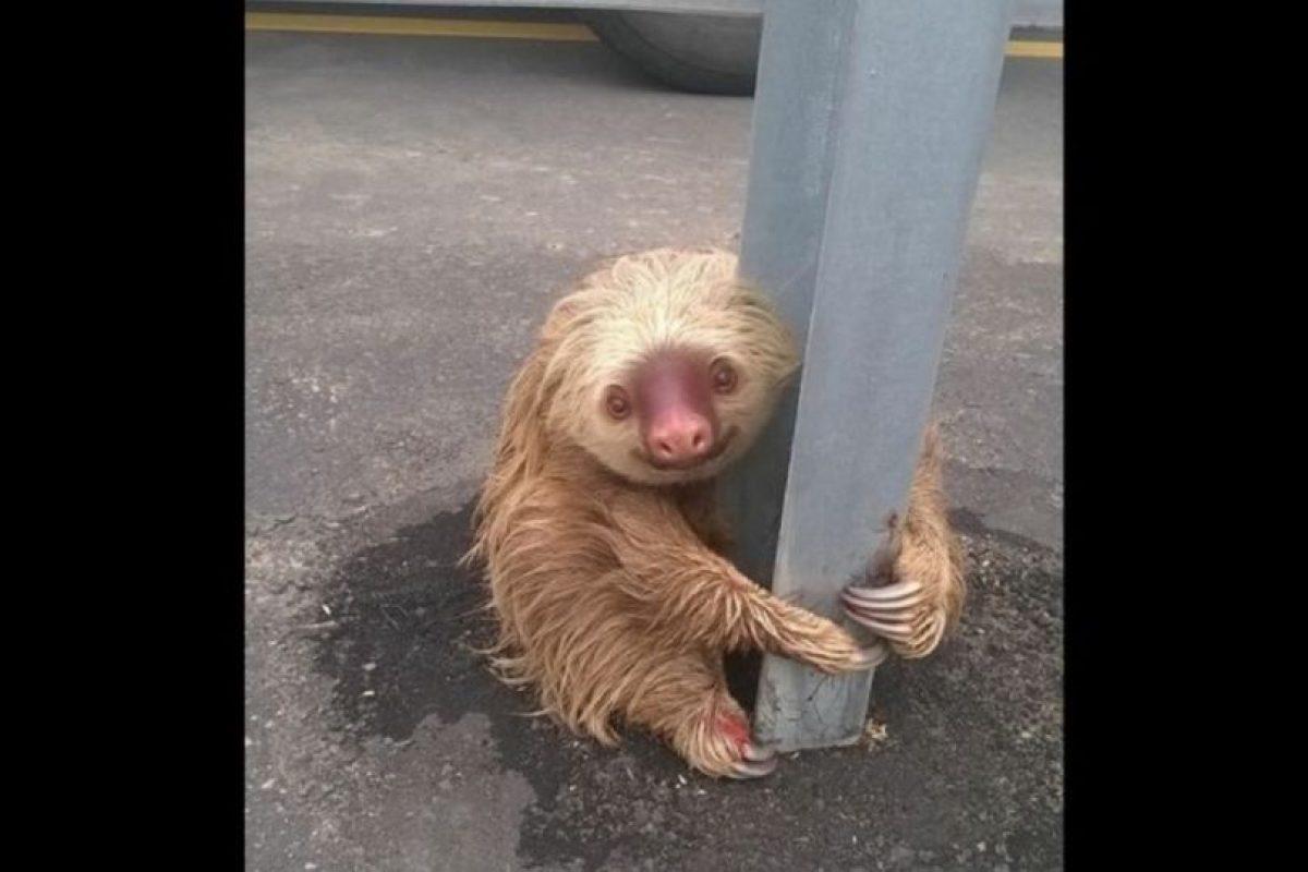 El oso perezoso que movilizó a la policía de Ecuador Foto:facebook.com/ctecuador