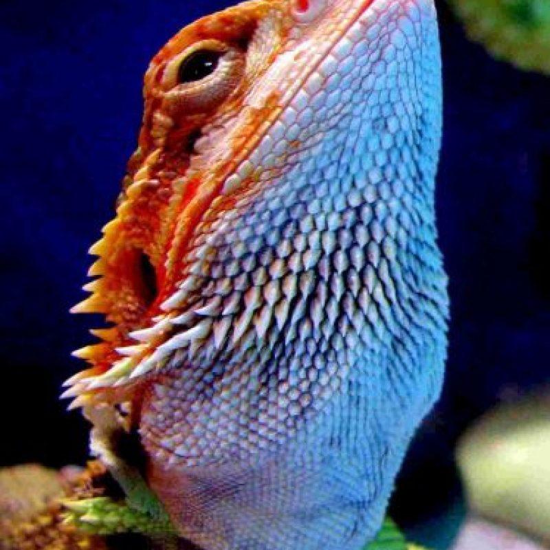 Cuando el macho de esta especia busca una hembra para aparearse, oscila la cabeza frecuentemente cerca de ellas e infla su barba. Foto:Creative Commons