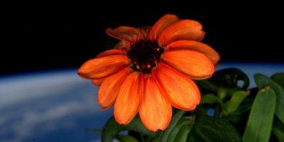 La primera flor que creció en el espacio Foto:NASA