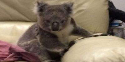 ¡Asombroso! Llegó a su casa y encontró un koala sentado en su sofá