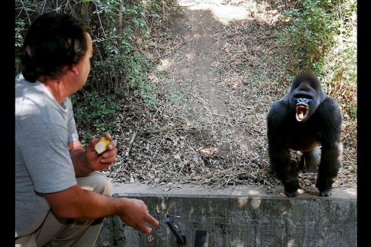 """""""Bantú"""" el gorila falleció el pasado 7 de julio. Foto:AP"""