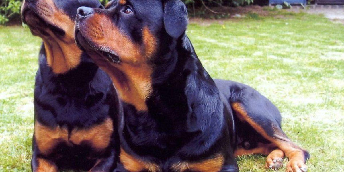 Mujer de 70 años murió tras ser atacada por sus perros rottweiler