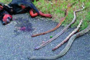 El perro falleció por las mordeduras de las cobras Foto:Twitter.com/hairydel