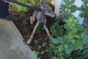 """""""Princess"""" en realidad no era una perra. Foto:Vía facebook.com/folsomanimalservices"""
