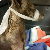 """Este animalito resultó ser un coyote que fue rescatado por """"City of Folsom Animal Services"""". Foto:Vía facebook.com/folsomanimalservices"""