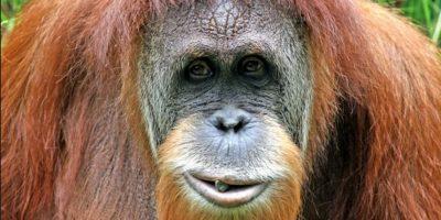 Ningún otro orangután puede hacer lo que Rocky. Foto:Getty Images