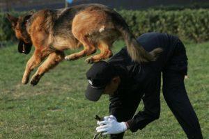 Datos sobre los perros pastor alemán Foto:Getty Images