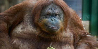 """""""Rocky"""", el asombroso orangután que habla como humano"""