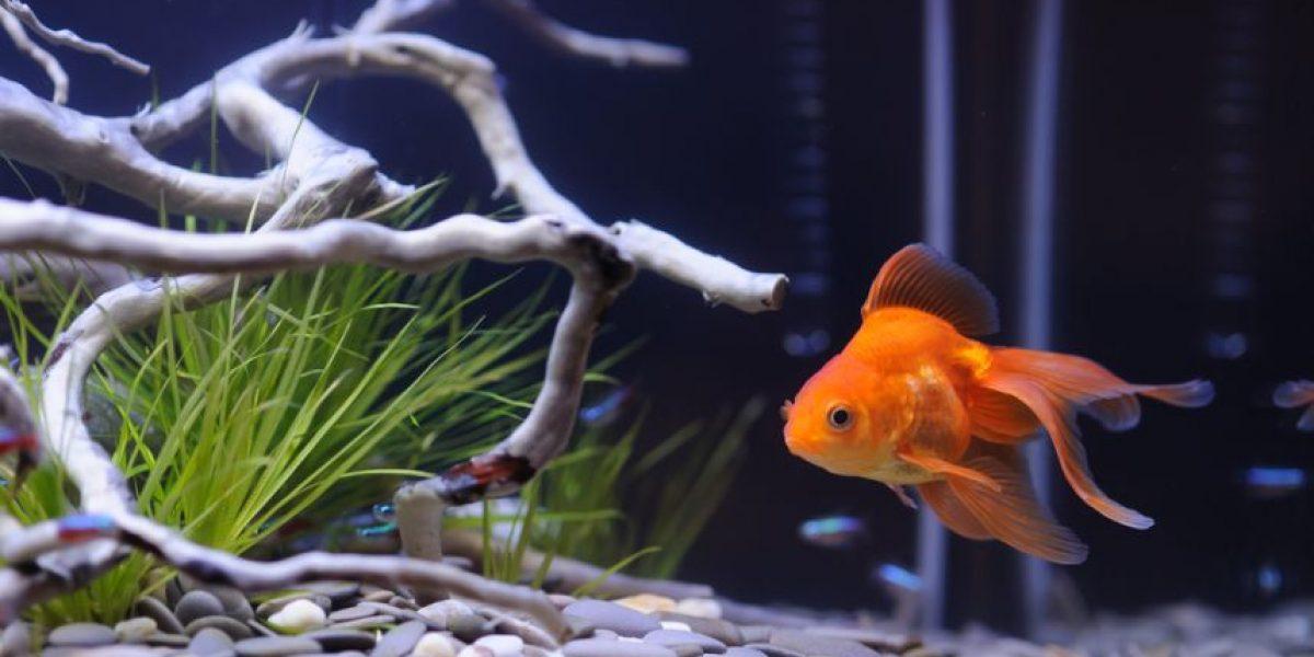 ¿Quieres un pez como mascota? Antes debes conocer estos cuidados básicos