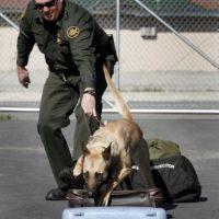 El trabajo de un perro policía no tiene que ver solo con su nariz Foto:Getty Images