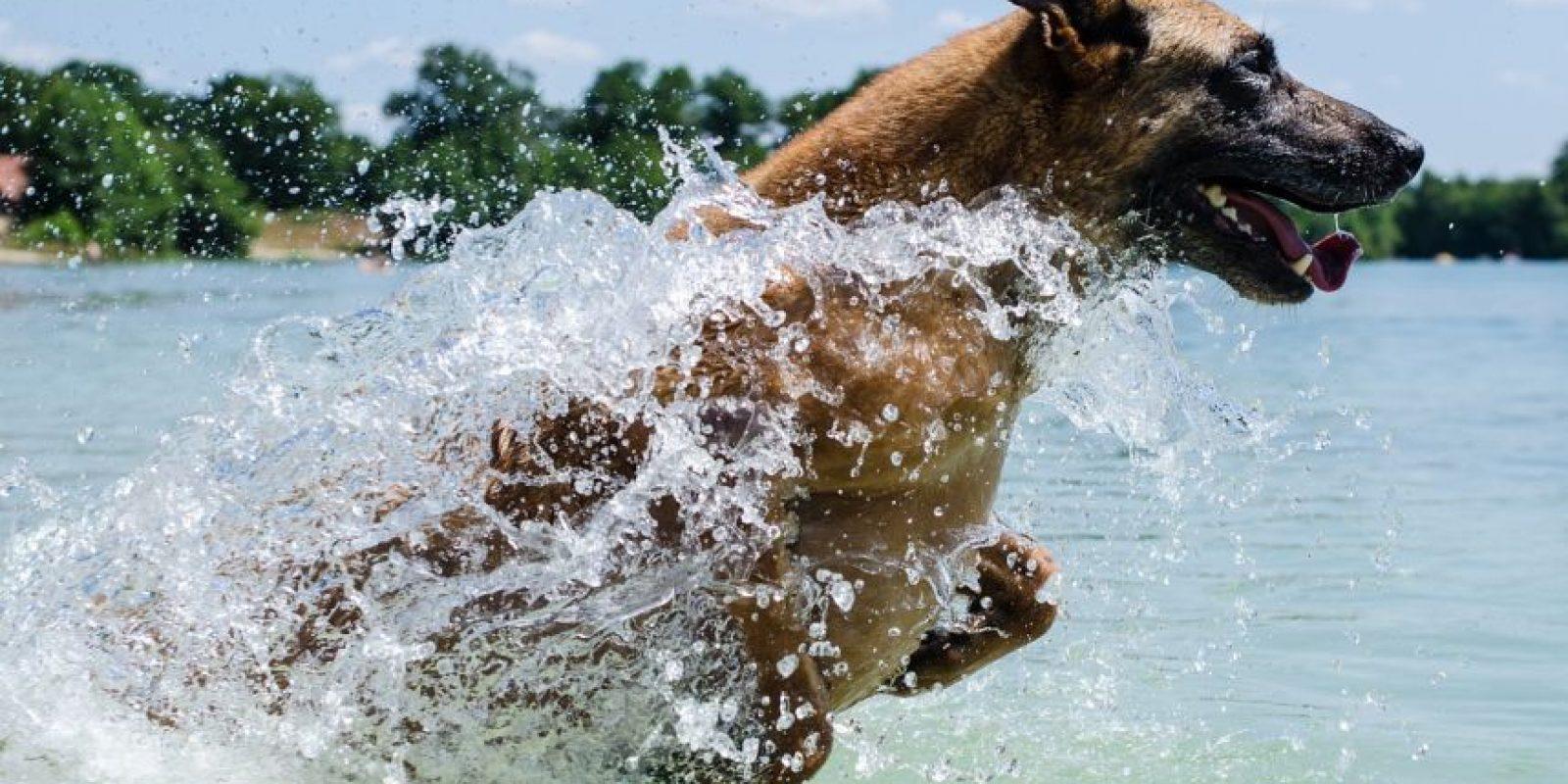 Por instinto desde que nacen todos los perros saben nadar Foto:Pixabay