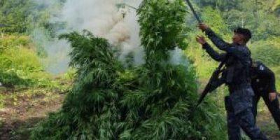 Fotos. La Policía erradica plantaciones de marihuana y la quema