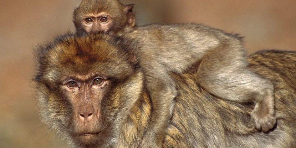 VIDEO. Fuertes imágenes de un mono bebé al lado del cadáver de su madre conmueve en redes