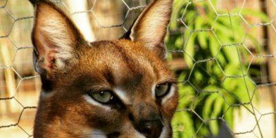"""Conozcan a la raza de gatos considerada """"la más bonita del mundo"""""""