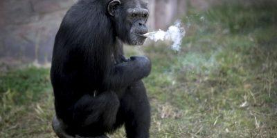 """""""Azalea"""" la chimpancé a la que hicieron adicta a fumar cigarros"""