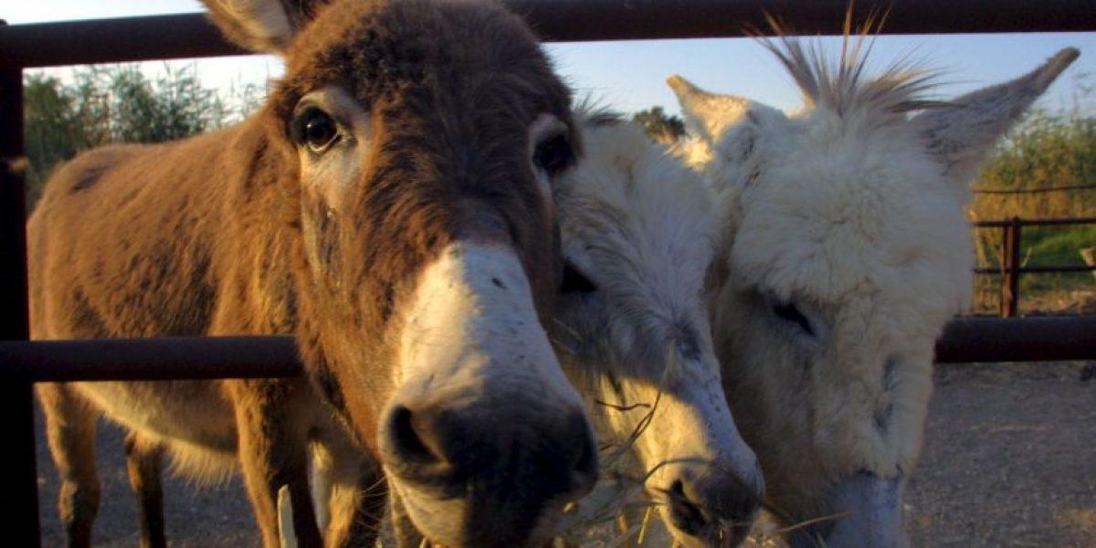 China quiere comprar todos los burros del mundo, pero ¿por qué?