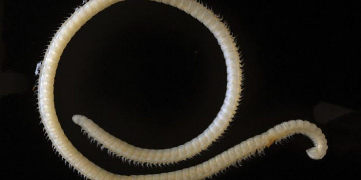 VIDEO: Descubren una criatura venenosa con 414 patas y 4 penes
