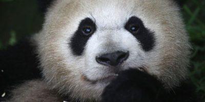 Qizai: El panda al que le hacen bullying por ser color marrón