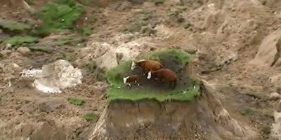 Sismo en Nueva Zelanda dejó varadas a 3 vacas