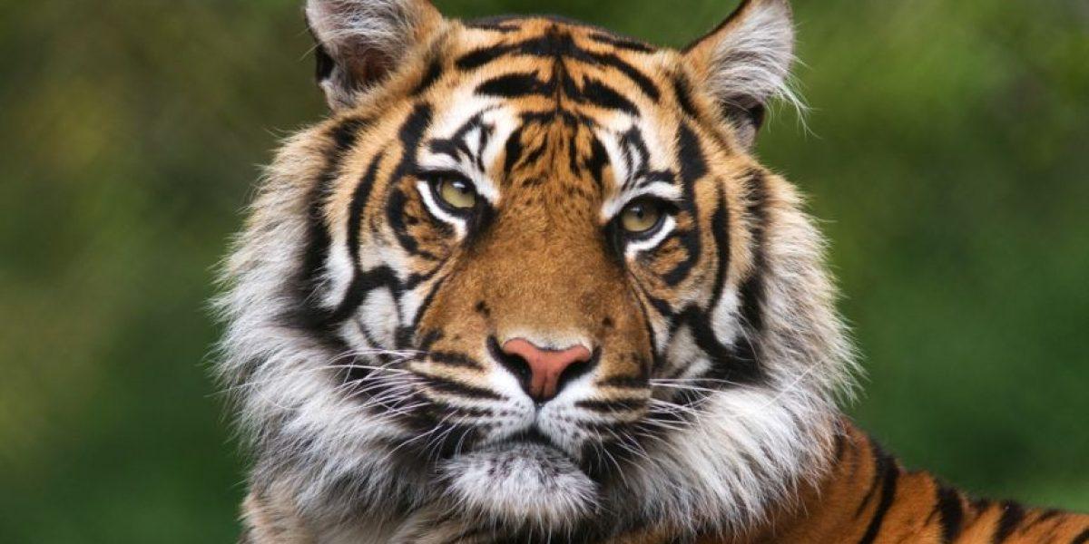 Mujer es arrestada en Nevada por tener 3 tigres en su casa