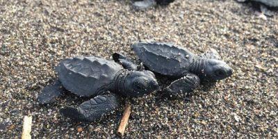 Conoce cómo el CONAP protege y libera tortugas marinas en Guatemala