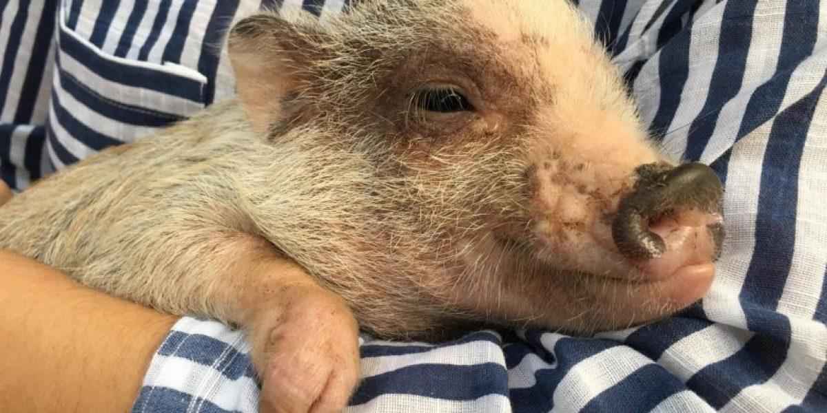 Dan a conocer los Mini Pigs en un evento colmado de ternura
