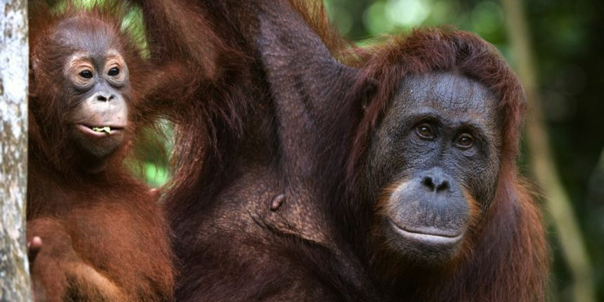 Una orangután provoca destrozos en zoológico de St. Louis