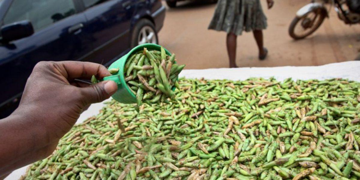 Los saltamontes son una delicia culinaria en Uganda