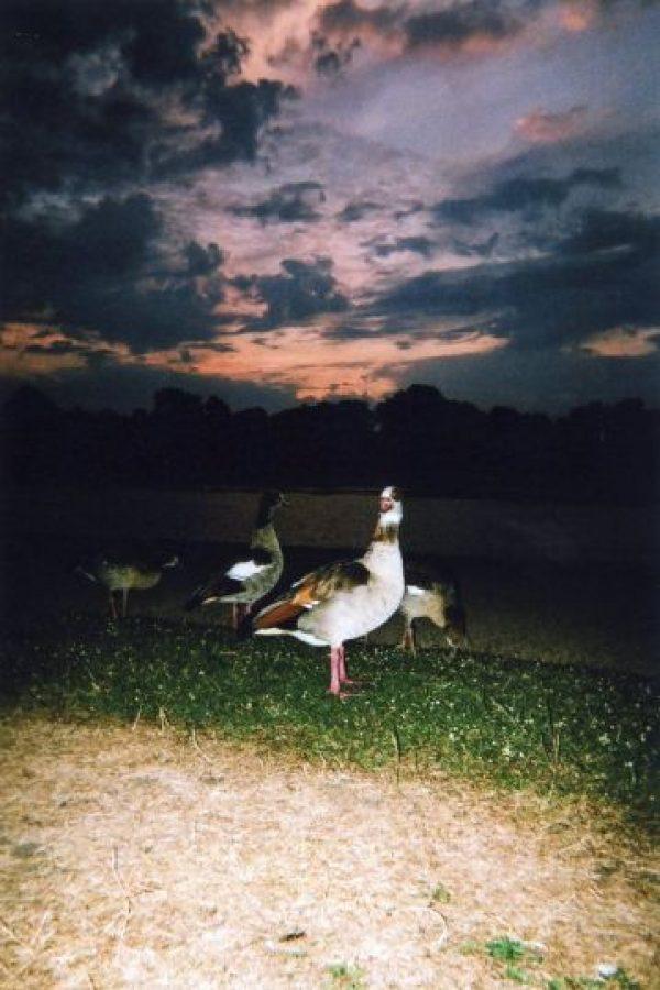 """""""Gansos Reales en la puesta de sol"""": es el mes de agosto Foto:Cafe Art – Maciek Walorski"""