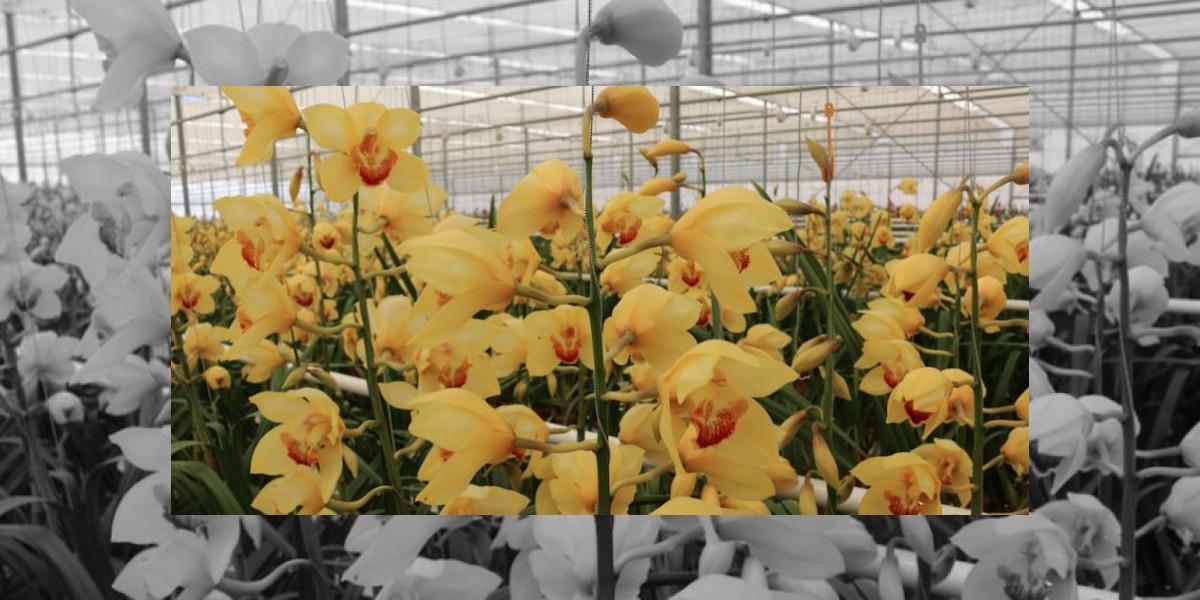 Orquídeas guatemaltecas adornan Estados Unidos y los Países Bajos
