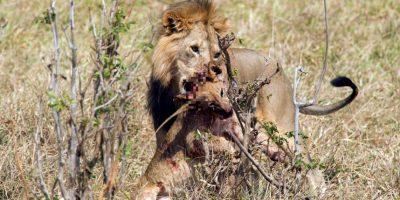 En sangrientas luchas de poder, los leones macho suelen matar a los cachorros de su rival o los suyos propios. Foto:vía Barcroft