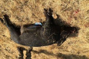 Este es el cerdo con grasa y carne azul Foto:Imgur