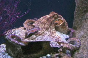 Habitan todos los océanos a diversas profundidades y poseen adaptaciones únicas. Foto:Wikimedia