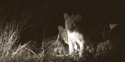 Esto se temía con los cachorros de Cecil, el león asesinado por Walter Palmer en Hwange, Zimbawe. Foto:vía AFP