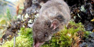 Son más grandes que sus amigas de Nueva York. Foto:vía Mammalogy.org