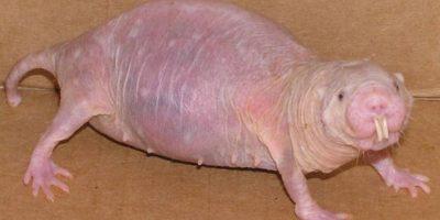 3. La rata topo desnuda, vive en África y se alimenta de tubérculos. Foto:vía Wikipedia