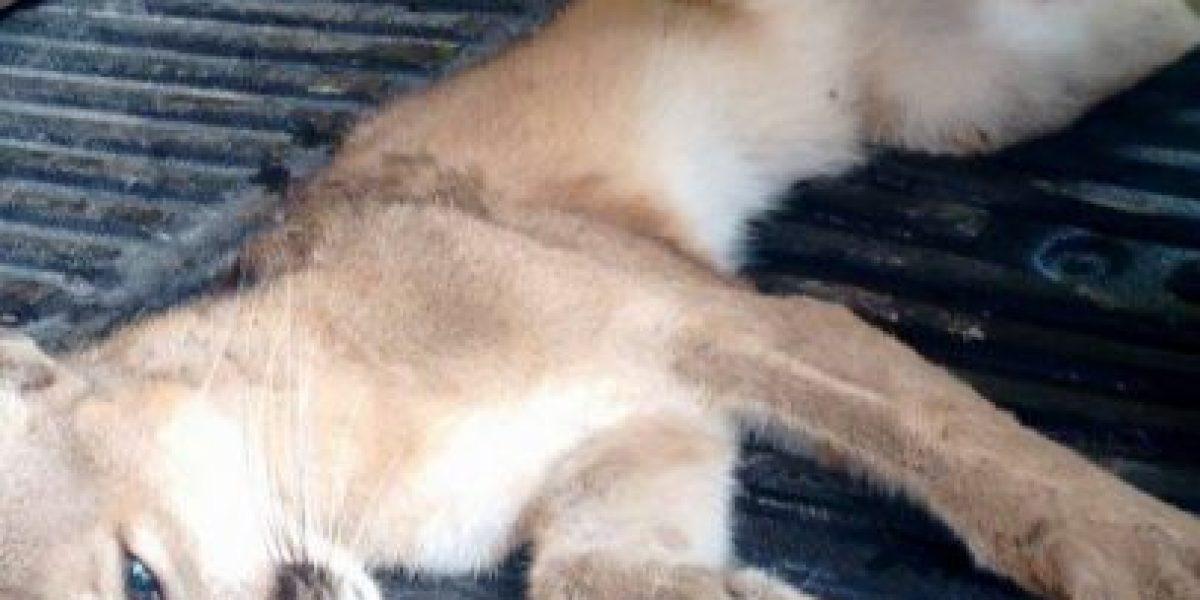 EN IMÁGENES. Vecino en Izabal rescata a puma y lo entregan a las autoridades