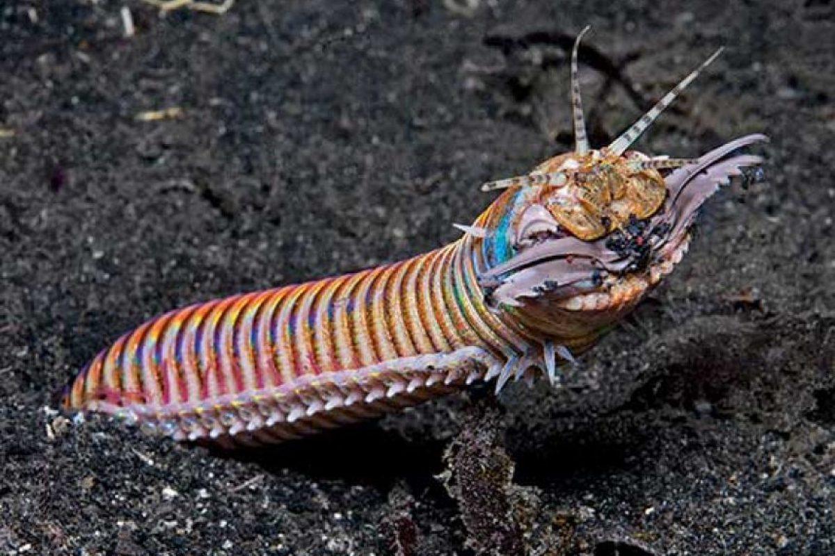 6. Gusano Bobbit: vive en el fondo del océano, enterrado en la arena. Foto:vía RealMonstruosities