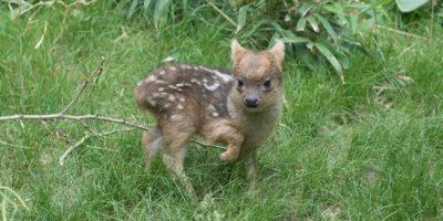 FOTO: Nace en Nueva York uno de los ciervos más pequeños del mundo