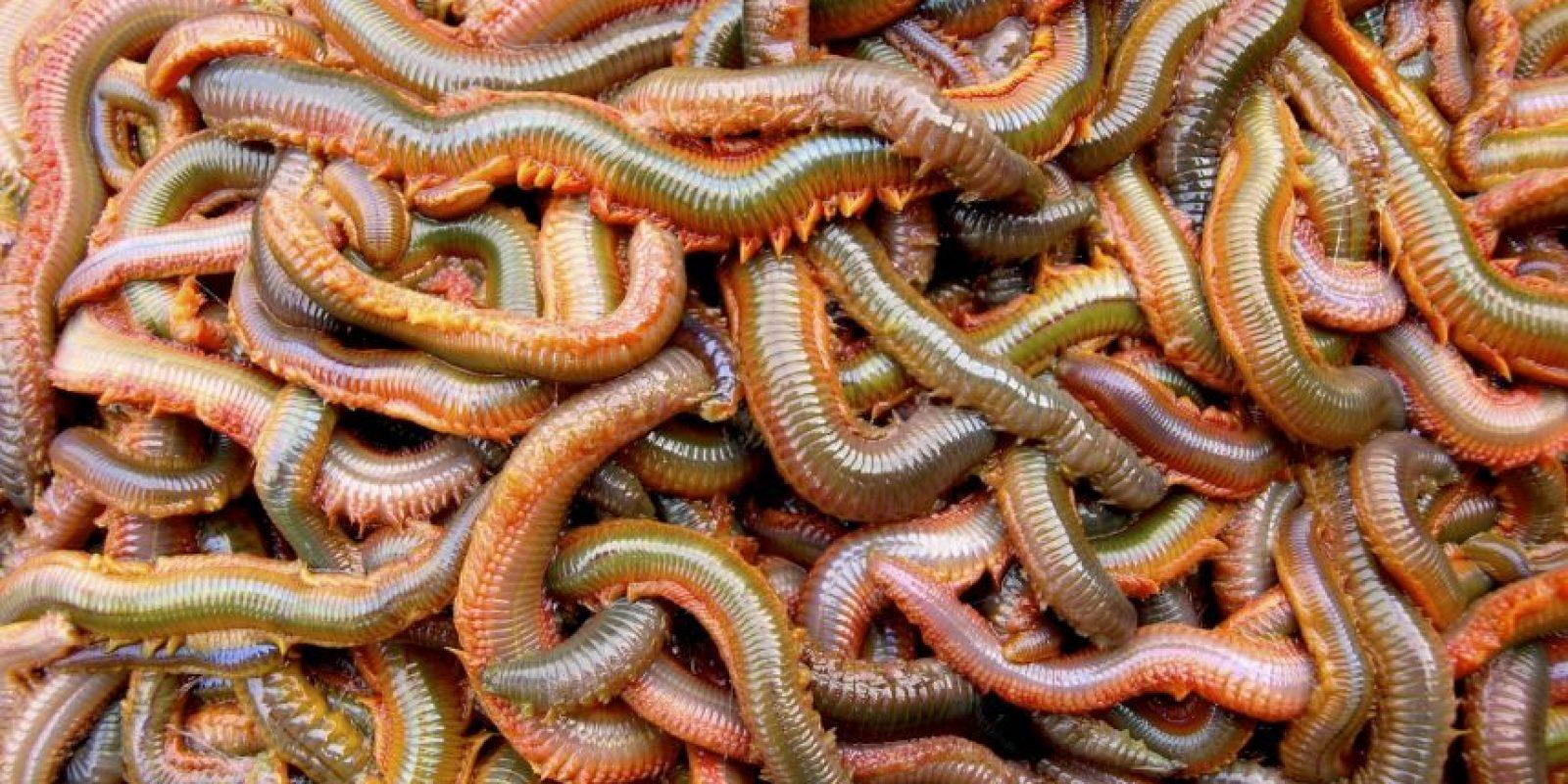 Son omnívoros. Se reproducen una vez en la vida y se los comen las aves costeras. Foto:vía RealMonstruosities