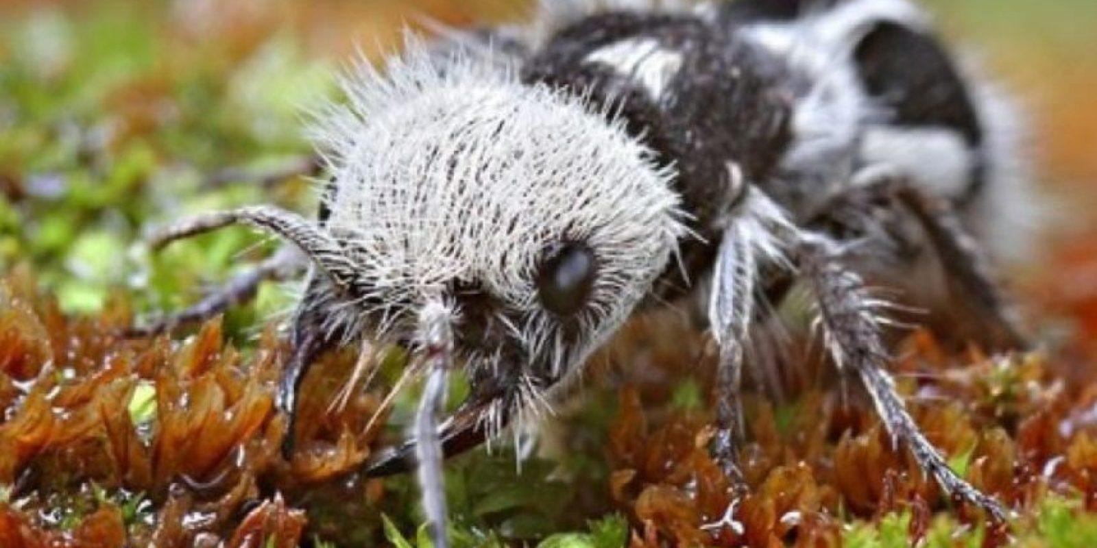La hormiga panda vive en Chile y fue descubierta en 1938. Está más relacionada con las abejas. Foto:Wikipedia