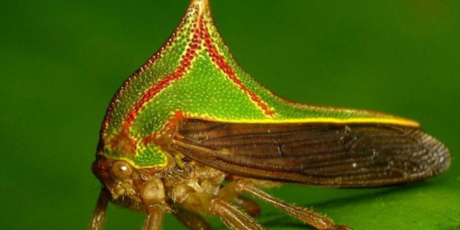 Umbonia spinosa: insecto espino. Se camuflan, precisamente como espinas, y se encuentran en el trópico. Ponen sus huevos en ramas nuevas de los árboles. Foto:Va Flickr