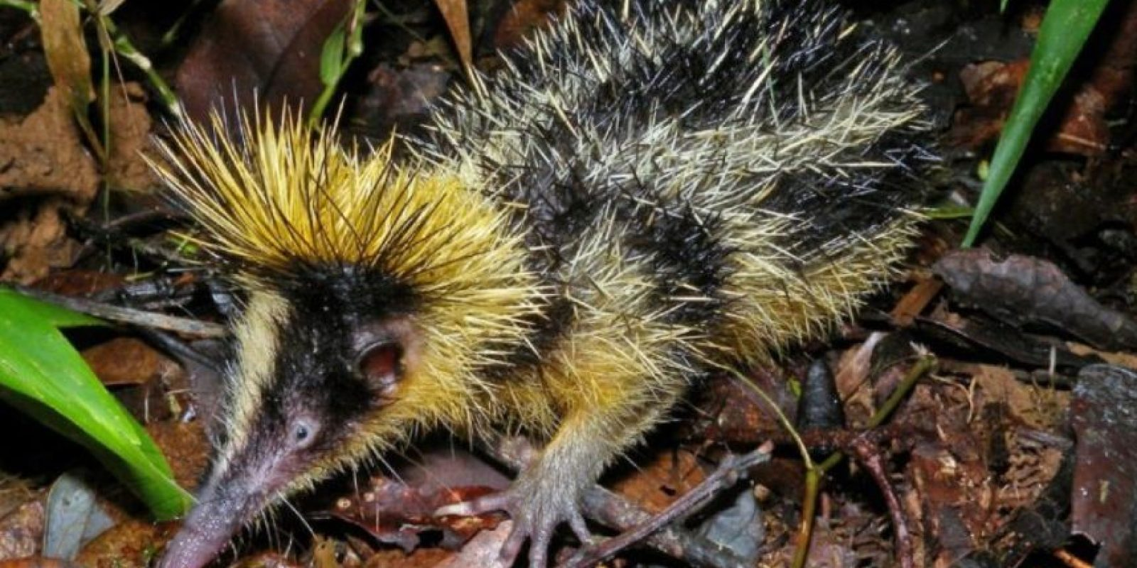 Tenrécido espinoso: insectívoro, vive en Madagascar y tiene púas. Foto:Vía Wikipedia