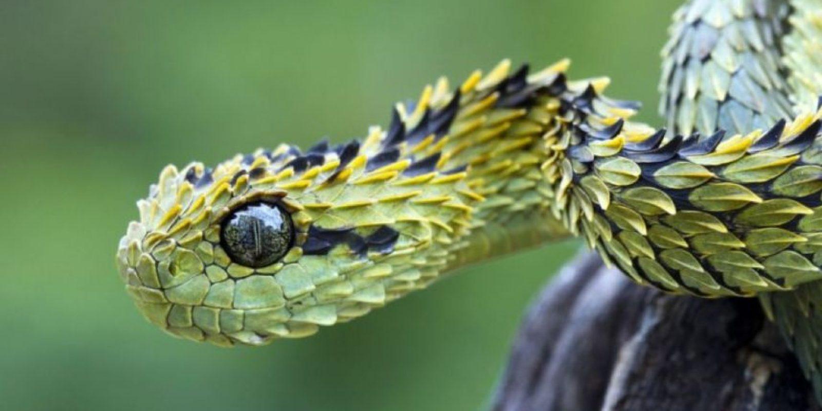 Serpiente arbusto: se camufla con la vegetación y vive en África. Caza de noche. Foto:Wikipedia