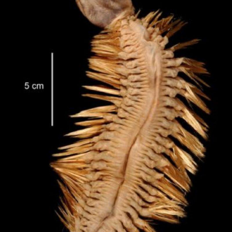 8. Eulagisca Gigantea. Vive en la Antártida. Foto:vía RealMonstruosities