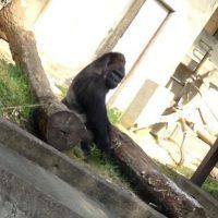 Se llama Shabani y vive en el Zoológico y Jardín Botánico de Higashiyama, en Japón. Foto:Vía Twitter/@mtop1205